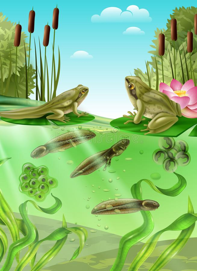 Frog Life Cycle Realistic Image. Frog life cycle water stages realistic poster with adult amphibian eggs mass tadpole with legs vector illustration royalty free illustration