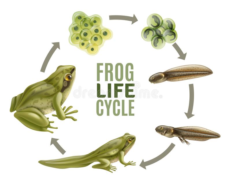 Frog Life Cycle Set. Frog life cycle stages realistic set with adult animal fertilized eggs jelly mass tadpole froglet vector illustration vector illustration