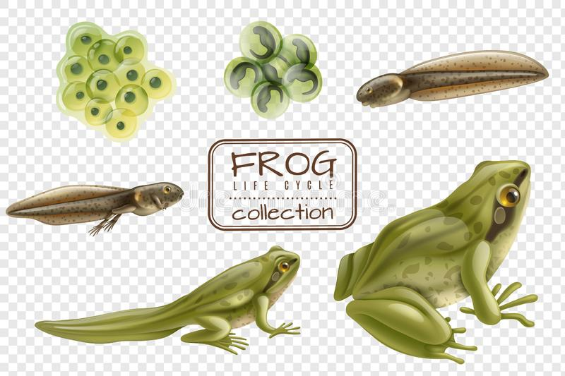 Frog Life Cycle Set. Frog life cycle stages realistic set with adult animal fertilized eggs tadpole froglet transparent background vector illustration stock illustration