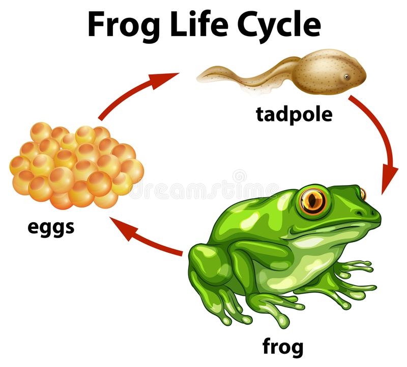 A Frog Life Cycle on White Background. Illustration royalty free illustration