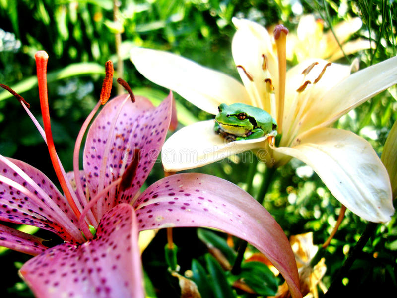 frog in lilies royalty free stock photography