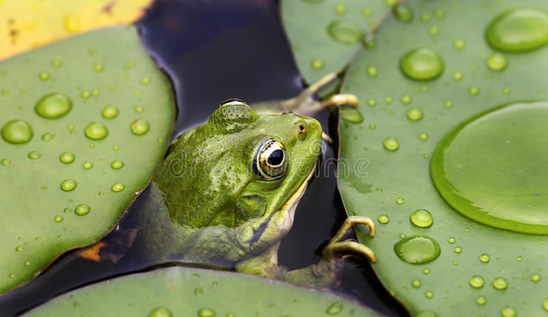 Download Frog on lily pad stock image. Image of leaf, fresh, color - 32187077