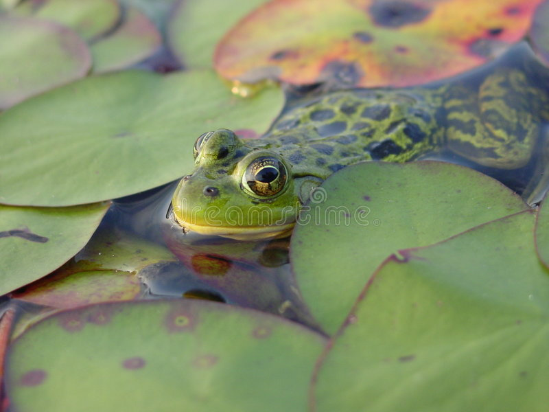 Frog in lilypads stock photos