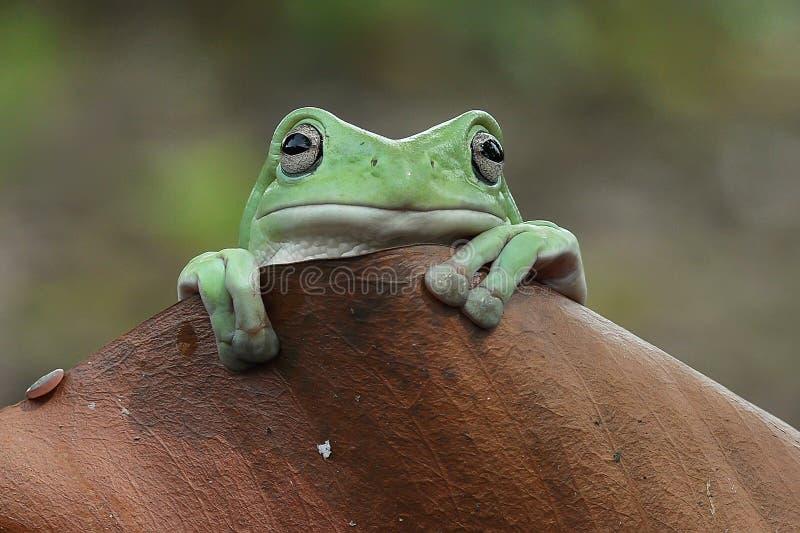 Frog Litoria caerulea stock images