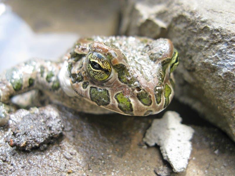 Princess Frog royalty free stock images