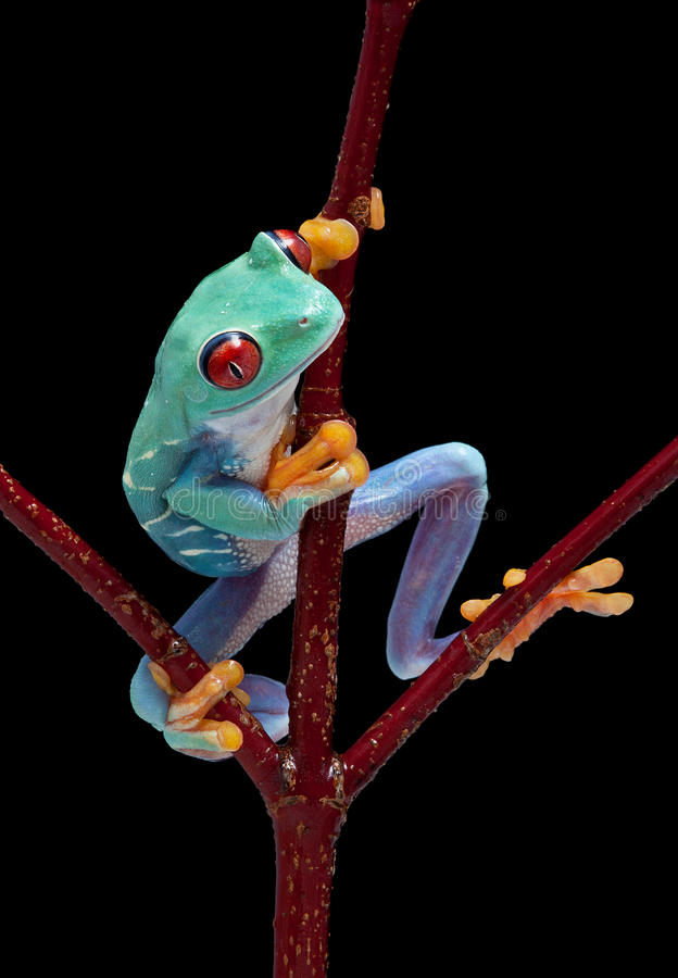 Frog looking around red vine royalty free stock photo
