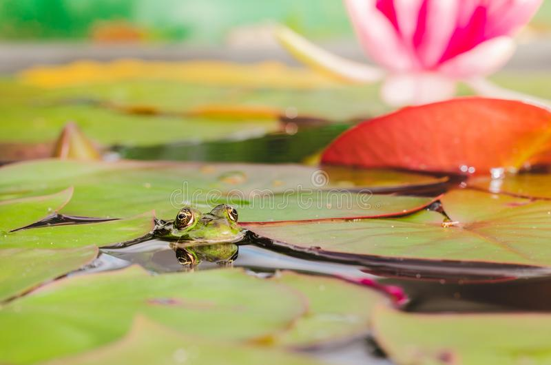 Frog. The frog looks out of water in a pond near a lily flower. Beautiful nature stock photography