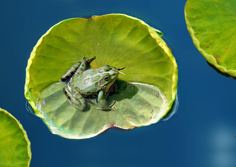 Download Frog on a lotus leaf stock photo. Image of water, environment - 19623594