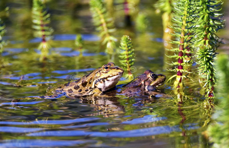 Frog mating in a pond. By day stock photography