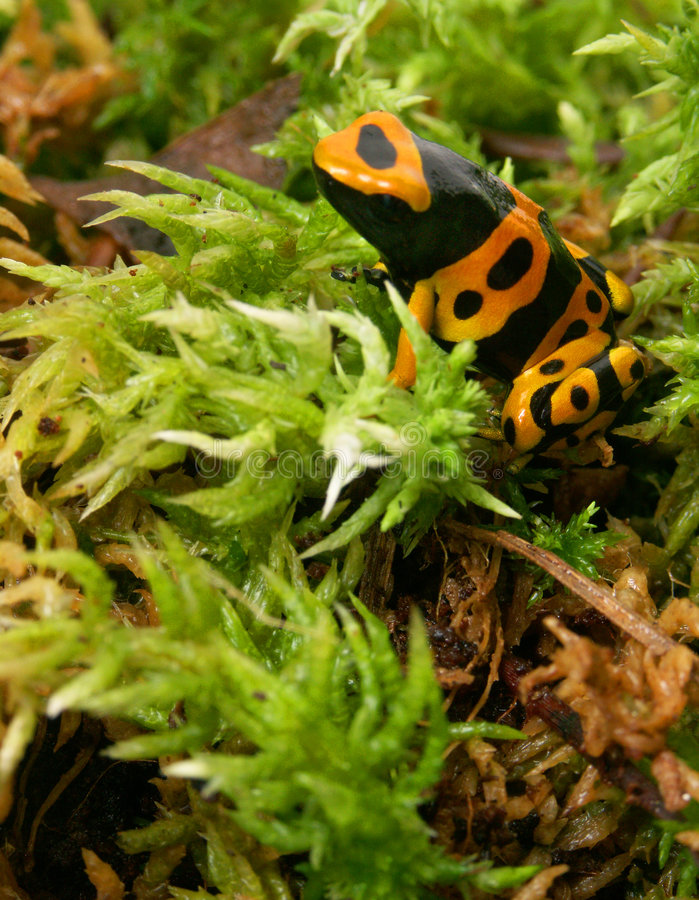 Frog on moss royalty free stock photography