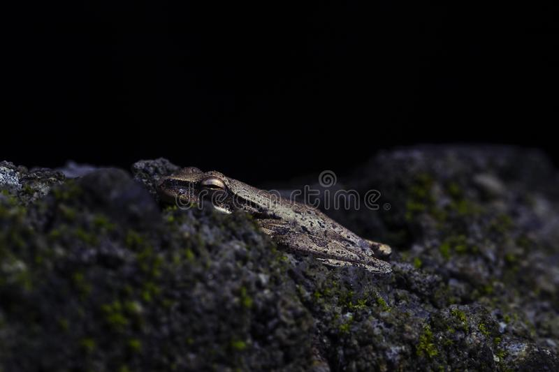 Frog in mossy stone macrophoto. Baby frog with wet skin closeup. royalty free stock photos