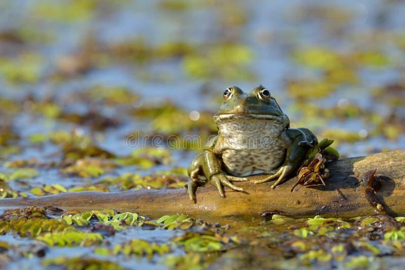 Frog in natural habitat royalty free stock photo