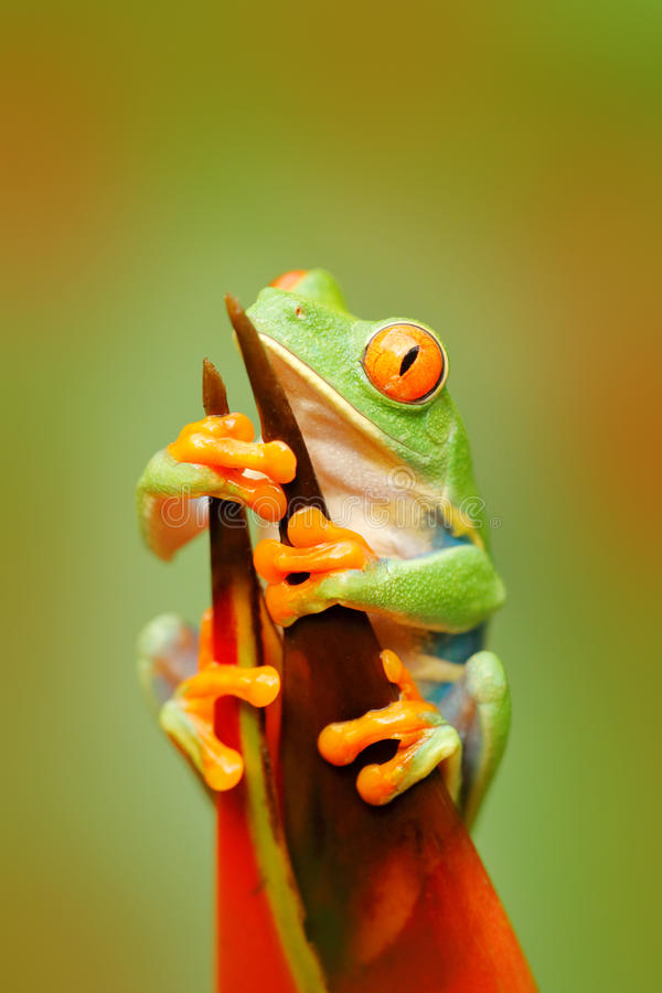 Frog in the nature. Beautiful frog in forest, exotic animal from central America, red flower. Red-eyed Tree Frog, Agalychnis calli. Frog in the nature. Beautiful royalty free stock photos