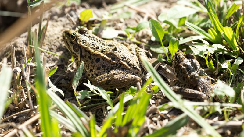 Frog on nature royalty free stock photo