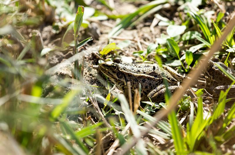 Frog on nature royalty free stock photography
