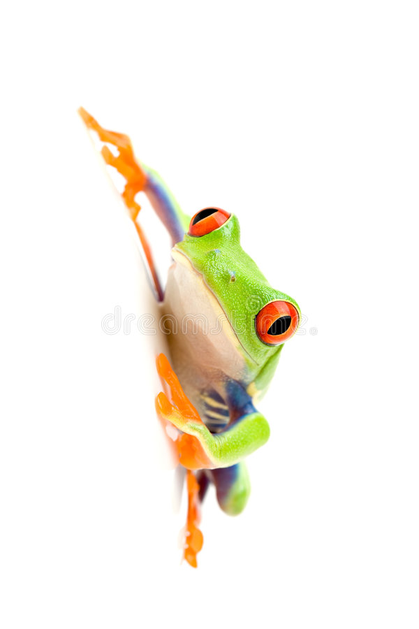 Free Frog On White Royalty Free Stock Images - 2557419