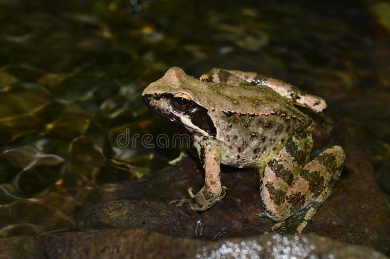 Frog. One frog in the river stock image