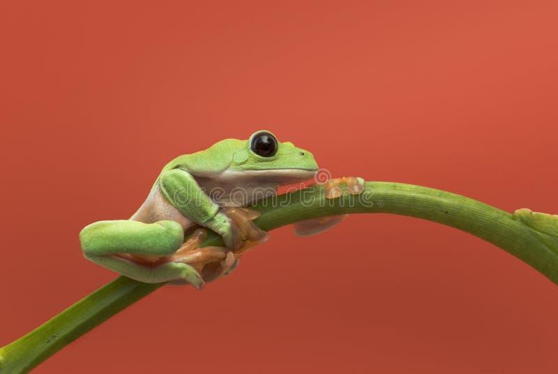 Frog on orange background stock images