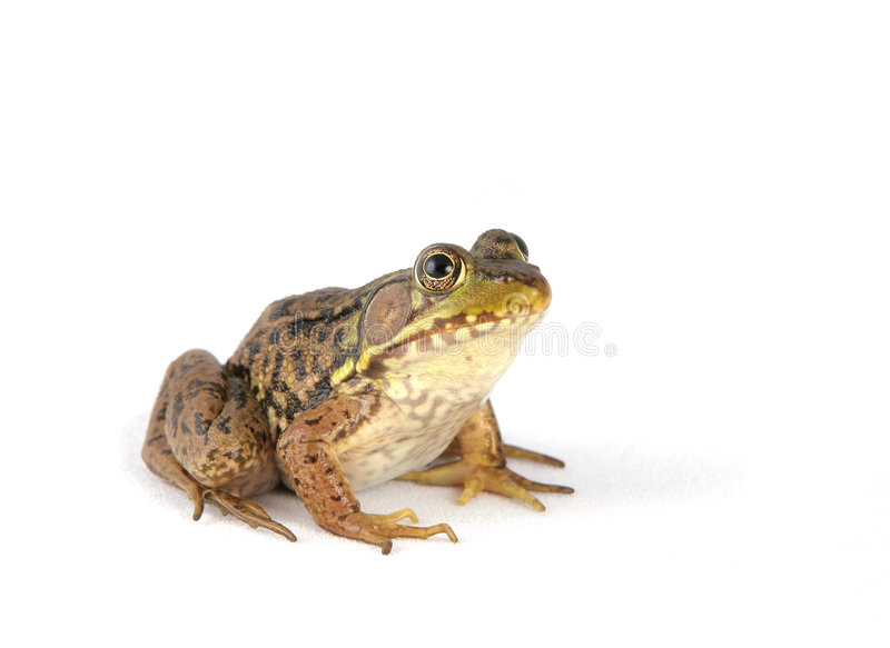 Frog over white royalty free stock photo
