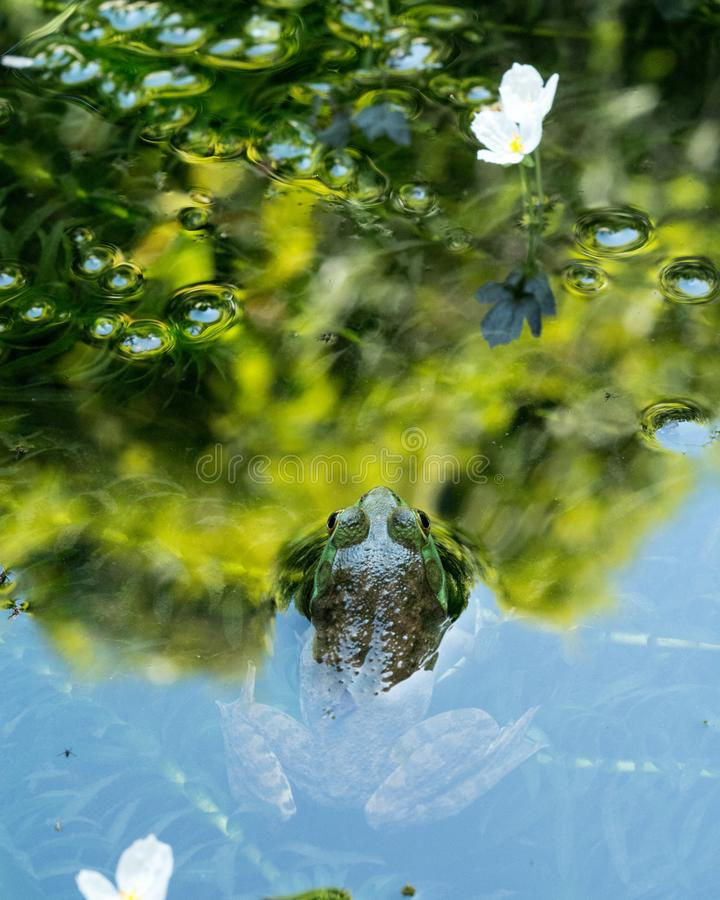 Frog peeking out of reflective pond surface. Meditative moment for frog in water royalty free stock image
