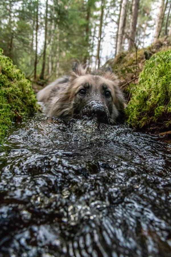 Frog perspective of a dog taking a bath in a little stream. In a swedish forest stock photography
