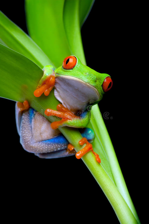 Frog in a plant isolated black. Red-eyed tree frog clinging to a plant isolated on black - red-eyed tree frog (Agalychnis callidryas stock photo