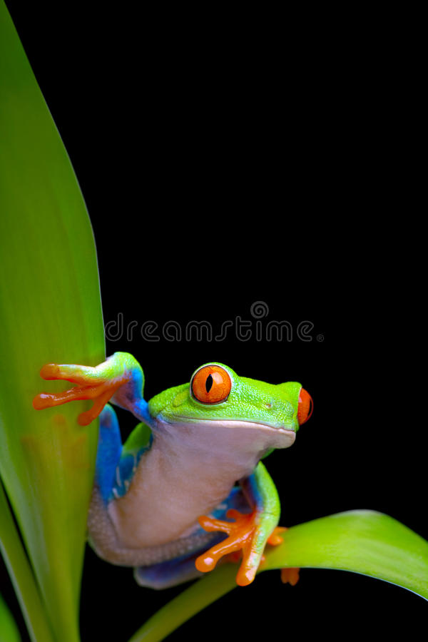 Download Frog On Plant Leaves Isolated Black Stock Image - Image: 16010329