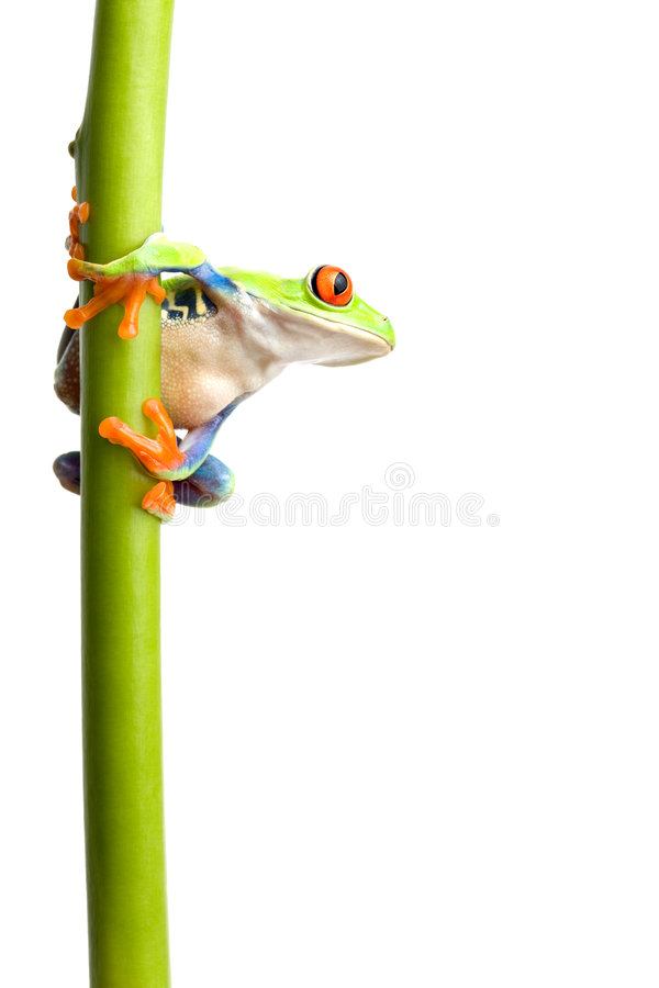 Download Frog On Plant Stem Isolated Stock Image - Image of copyspace, wildlife: 2493817