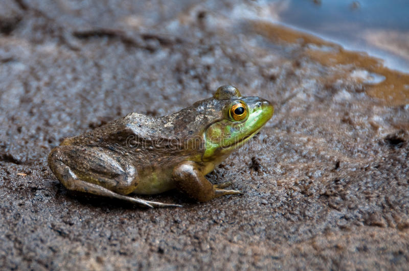 Download Frog with pond stock image. Image of legs, frog, croak - 10940361
