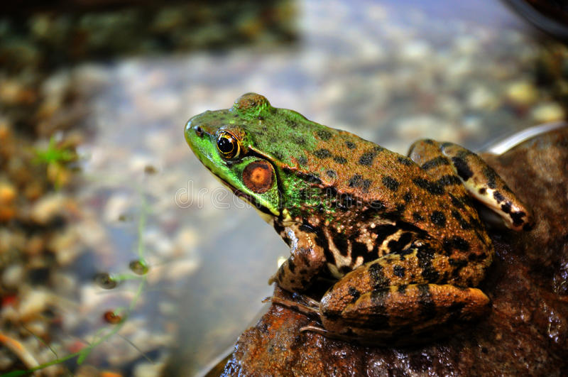Frog at the pond stock photography
