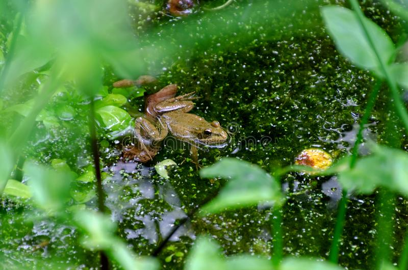 Frog in the pond. Surrounded by vegetation stock photos