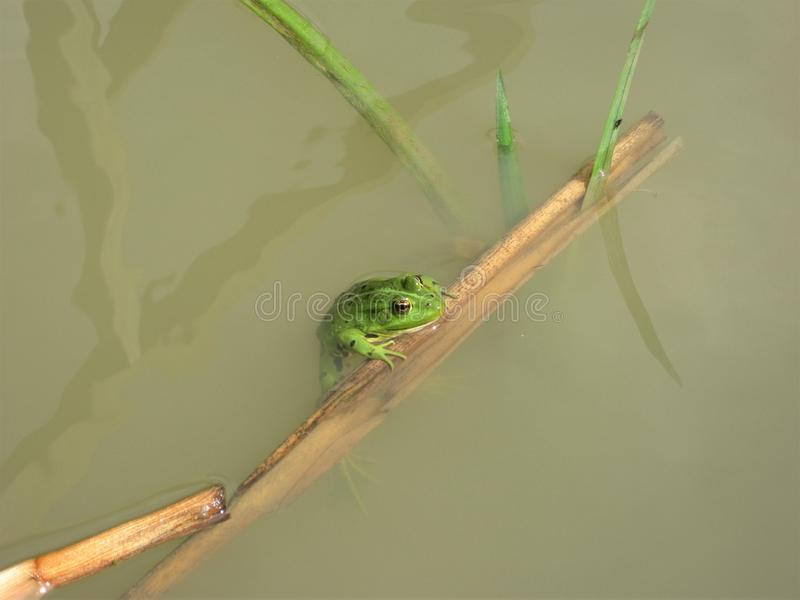 Frog prince in green suit royalty free stock images