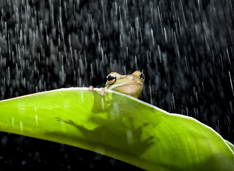 Frog in the rain royalty free stock photography