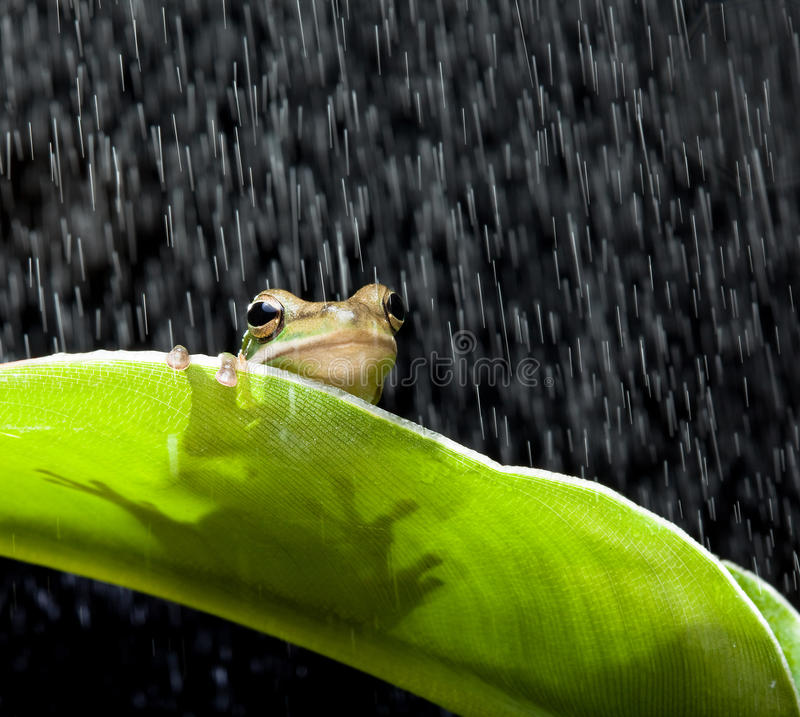 Download Frog in the rain stock photo. Image of leaves, species - 18302280