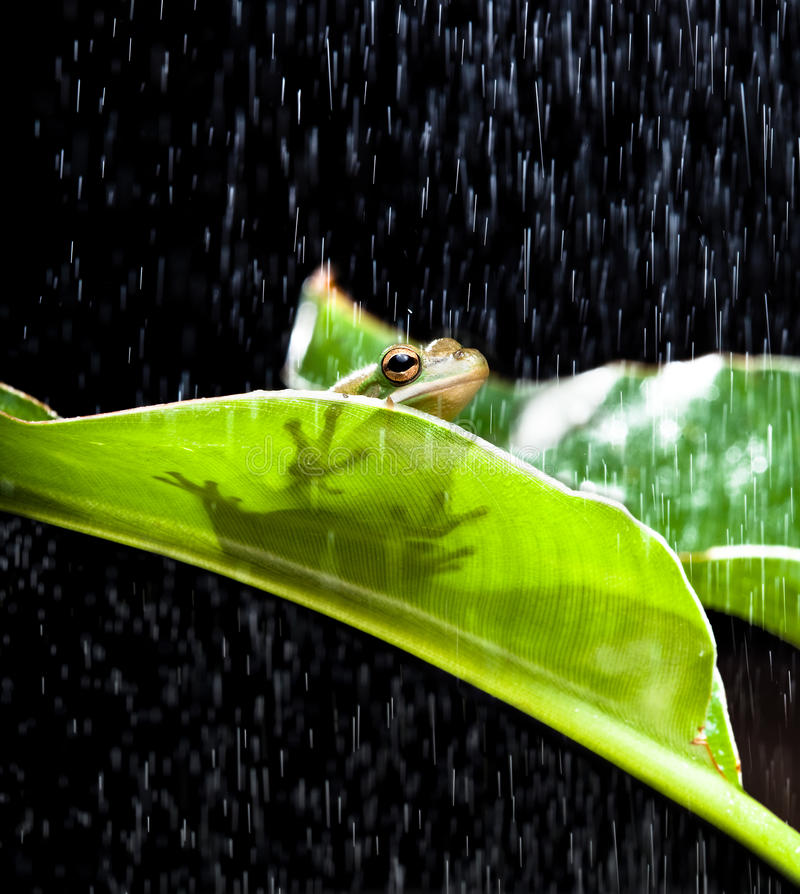 Frog in the rain royalty free stock images