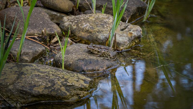 Frog Rana ridibunda pelophylax ridibundus sits on the stone bank of garden pond. Natural habitat and nature concept. For design royalty free stock photography