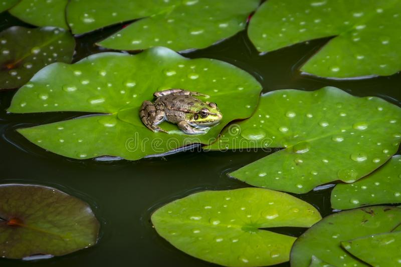 A frog Rana ridibunda sits in a pond on the green leaf of the water lily and looks into the camera. stock photography