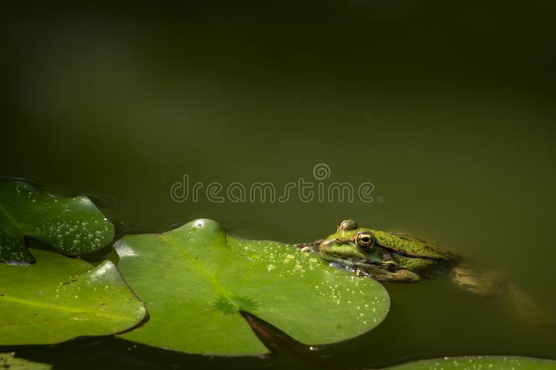 A frog Rana ridibunda sits in a pond. It leans against the leaf of the water-lily. Natural habitat and nature concept for design. stock photos