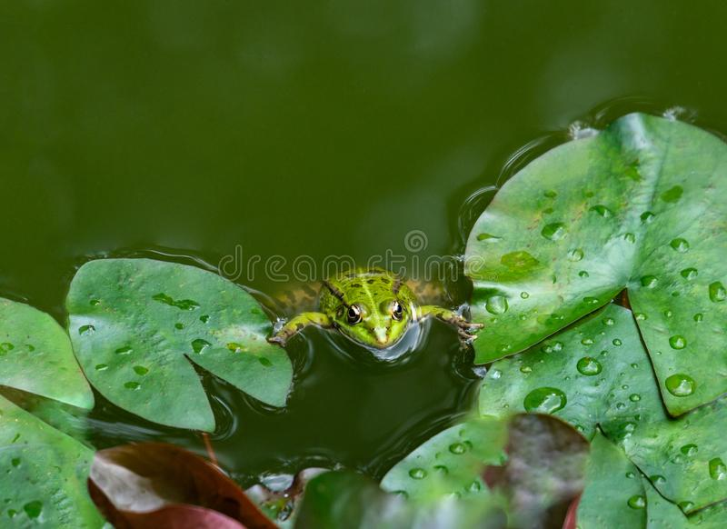 A frog Rana ridibunda sits in a pond and looks into the camera. Natural habitat and nature concept. For design royalty free stock images