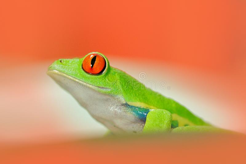 Frog in red flower. Red-eyed Tree Frog, Agalychnis callidryas, animal with big red eyes, in habitat, Costa Rica. Frog in nature. B. Frog in red flower. Red-eyed stock photo