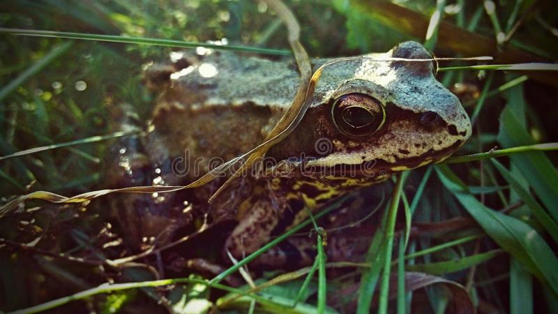Frog reptile royalty free stock image