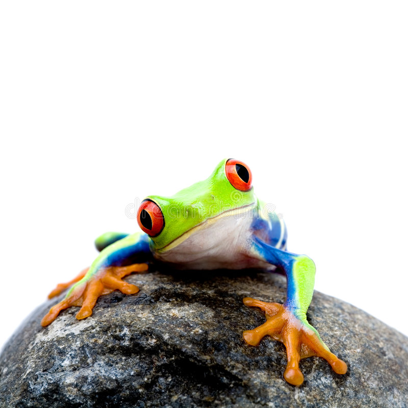 Frog on rock. Frog on a rock, a red-eyed tree frog (Agalychnis callidryas) closeup isolated on white, square crop of canon 5D image royalty free stock photo