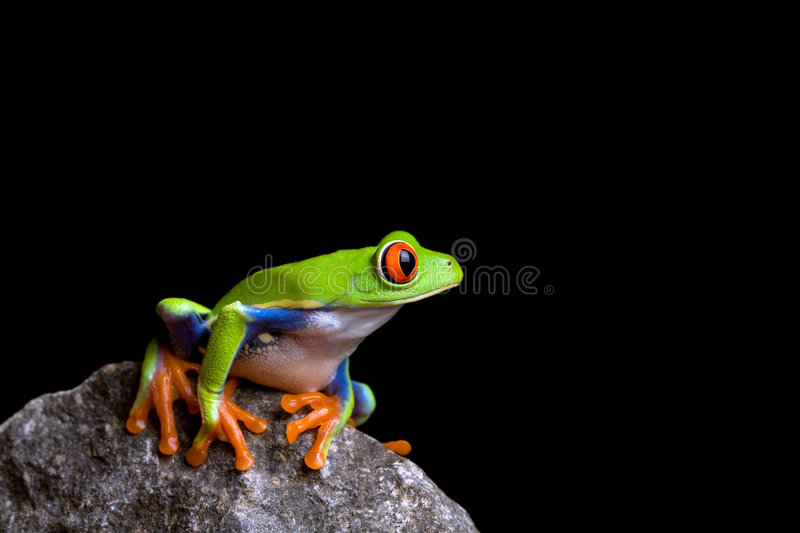 Frog on rock. Frog on a rock isolated on black background, red-eyed tree frog (Agalychnis callidryas stock images