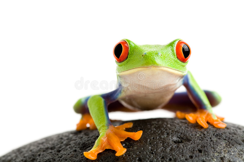 Frog on the rocks. Frog on a wet rock - a red-eyed tree frog (Agalychnis callidryas) closeup isolated on white stock images