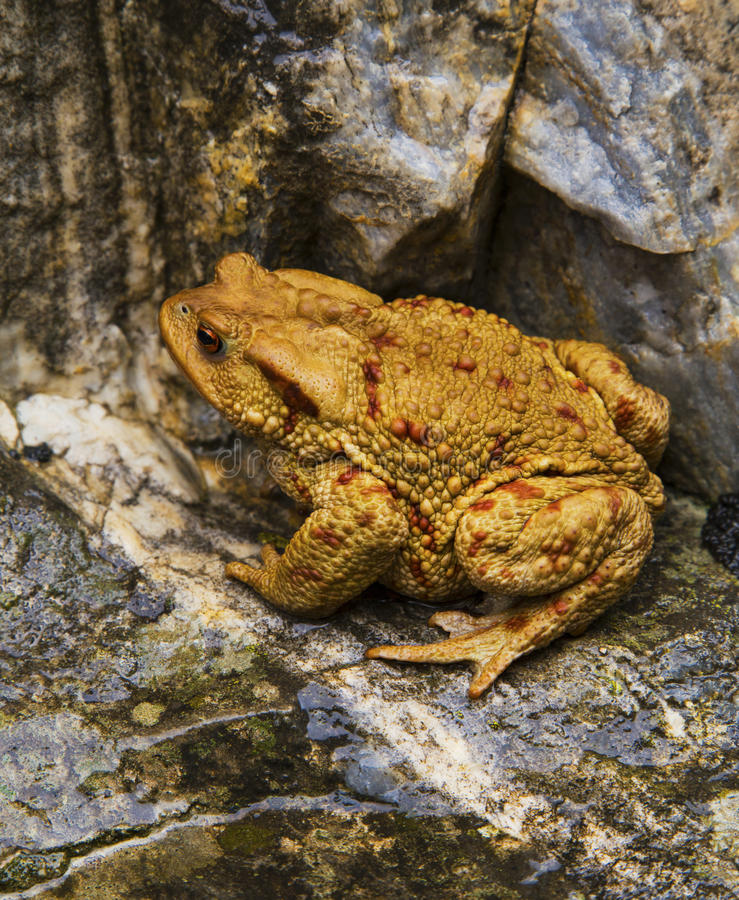 Frog on the rocks stock photo