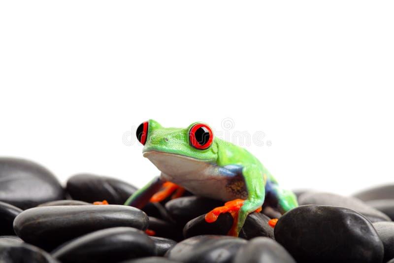 Frog on rocks isolated stock photography