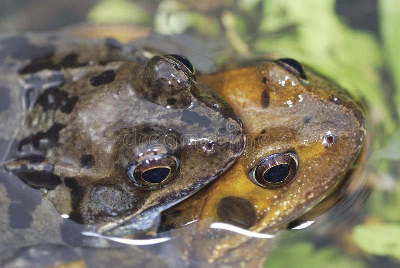 Frog sex couples