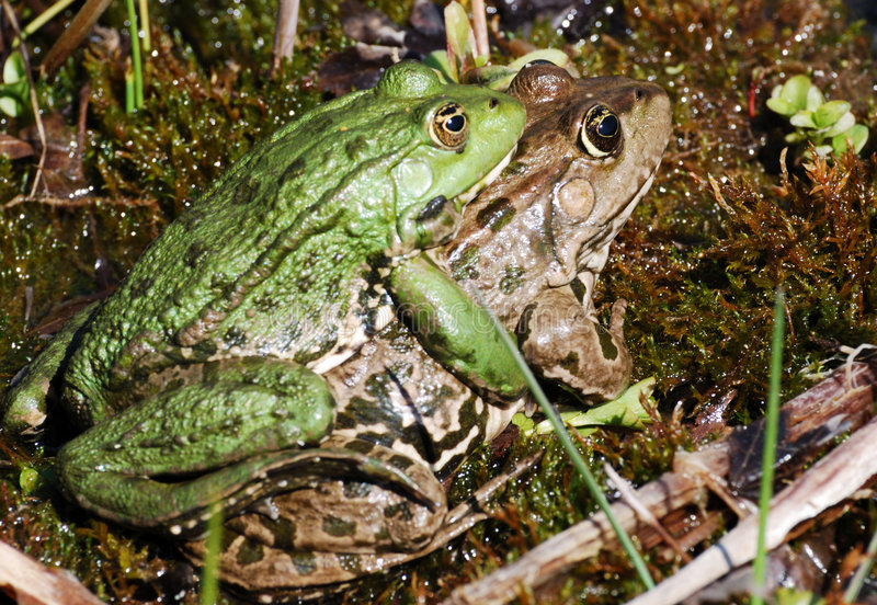 Frog Sex Royalty Free Stock Images