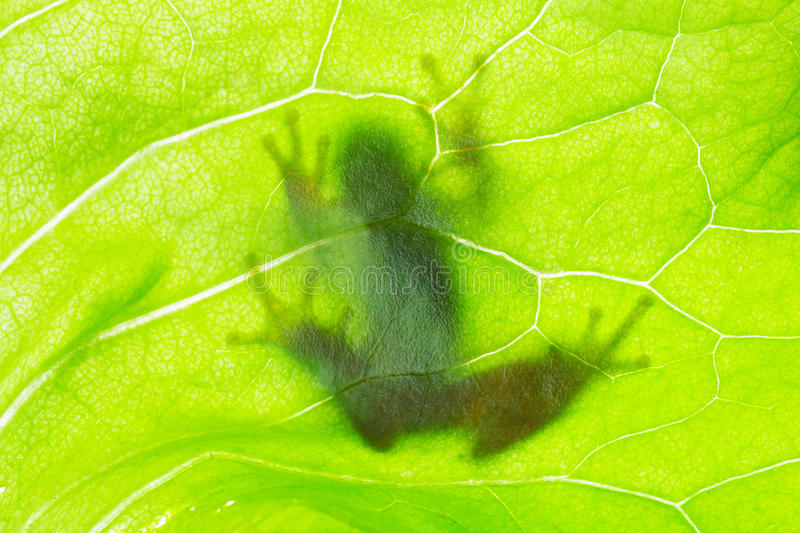 Download Frog shadow on the leaf stock photo. Image of ecology - 33591846