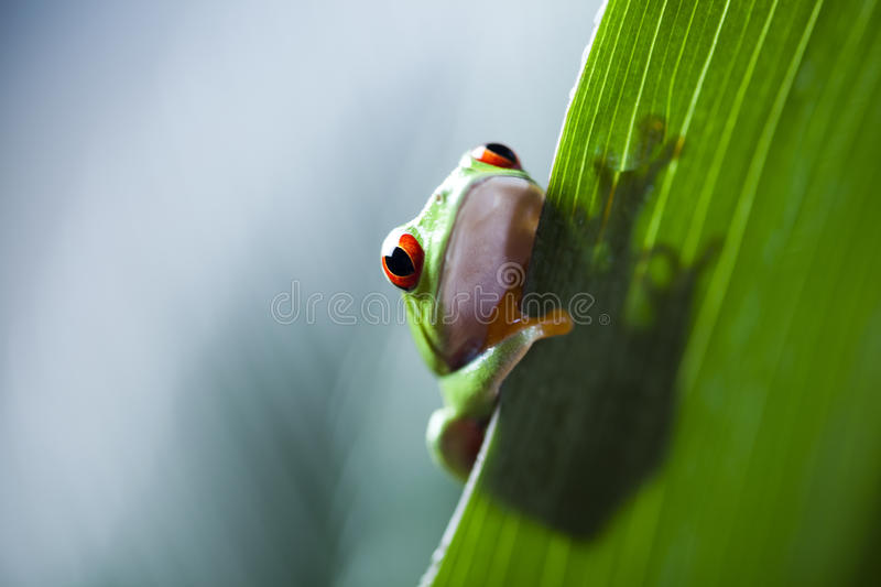Frog shadow on the leaf. Red eye tree frog on colorful background stock photos